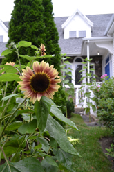 SunflowerGarden_L1use_165w