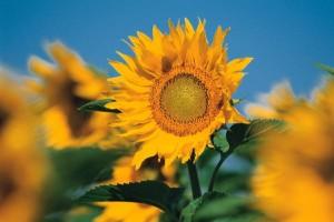 Festival Sunflower